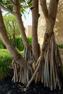 Panadas Dubius - Tree Base